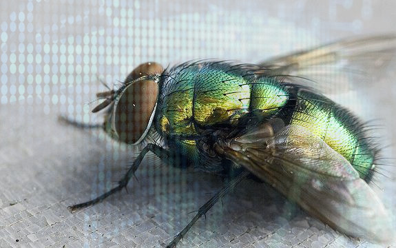 genetically_modified_flies1