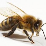 Prehistoric Clues Offer Answers to Modern Day Bee Die-Off?